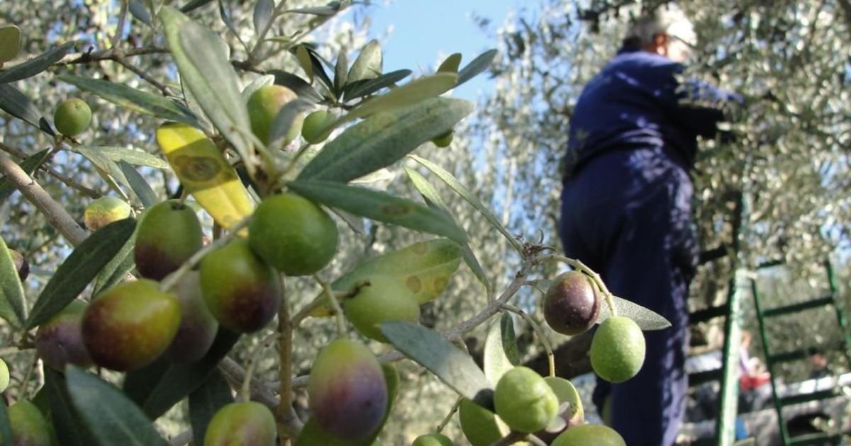 Olio, in Umbria sarà abbondante e di ottima qualità ...